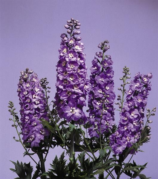 Seminte Delphinium cultorum Magic Fountain Lavender White Bee