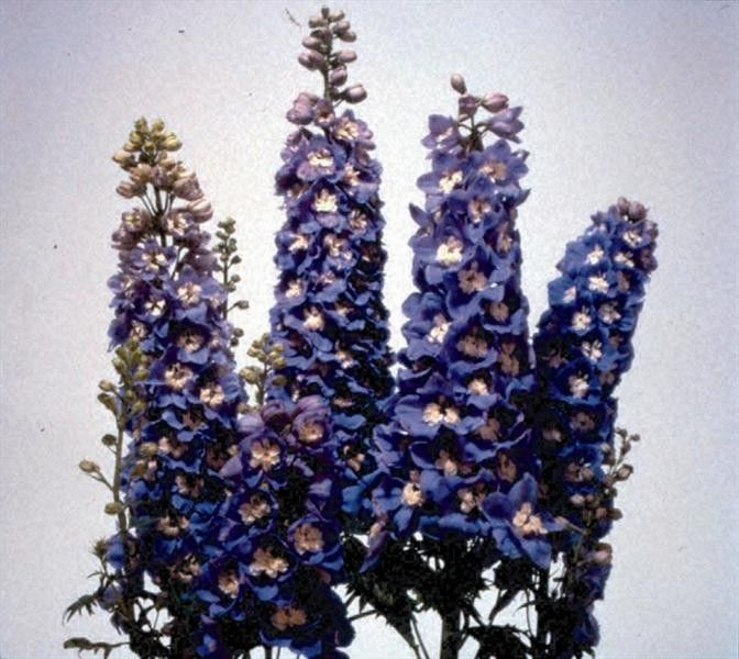 Seminte Delphinium cultorum Magic Fountain Sky Blue White Bee