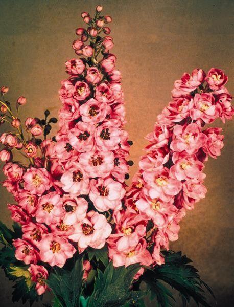 Seminte Delphinium cultorum Pacific Giant Astolat