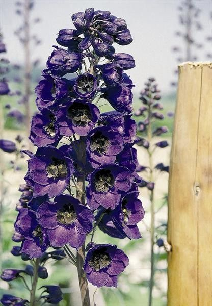 Seminte Delphinium cultorum Pacific Giant Black Knight