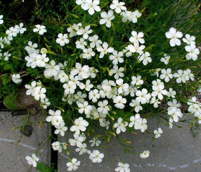 Seminte Dianthus deltoides White