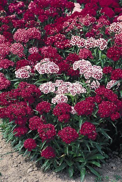Seminte Dianthus barbatus Spring Charm Scarlet