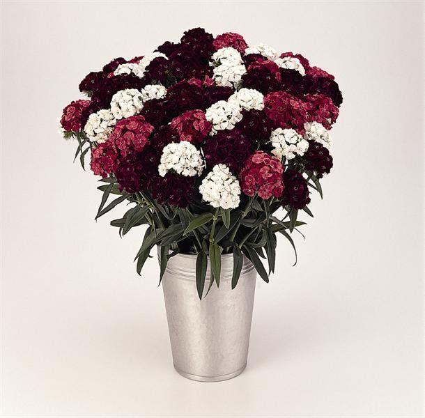 Seminte Dianthus barbatus Sweet F1 mix