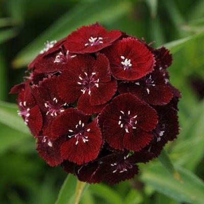 Seminte Dianthus barbatus Sweet F1 Black Cherry