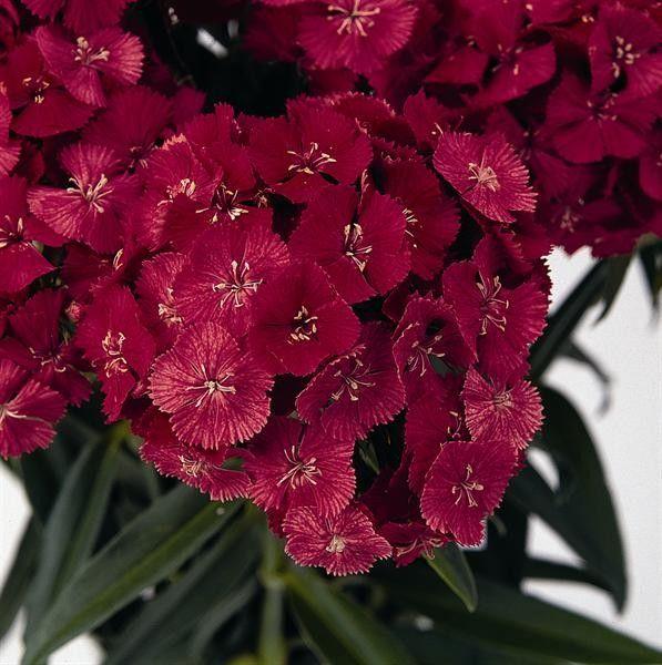 Seminte Dianthus barbatus Sweet F1 Coral