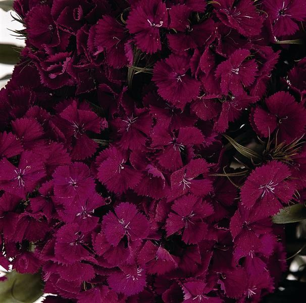 Seminte Dianthus barbatus Sweet F1 Purple
