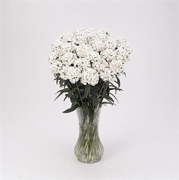 Seminte Dianthus barbatus Sweet F1 White