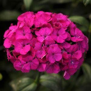 Seminte Dianthus interspecific Amazon F1 Neon Purple