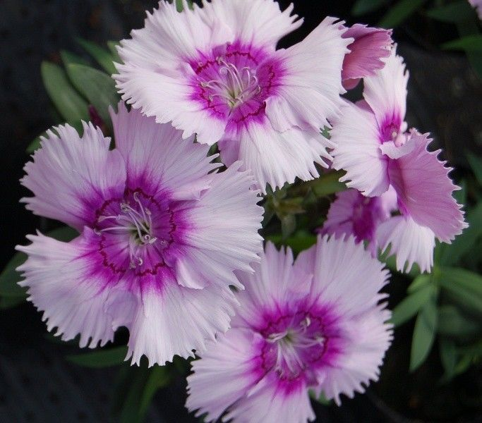 Seminte Dianthus chinensis Diana F1 Lavender Picotee