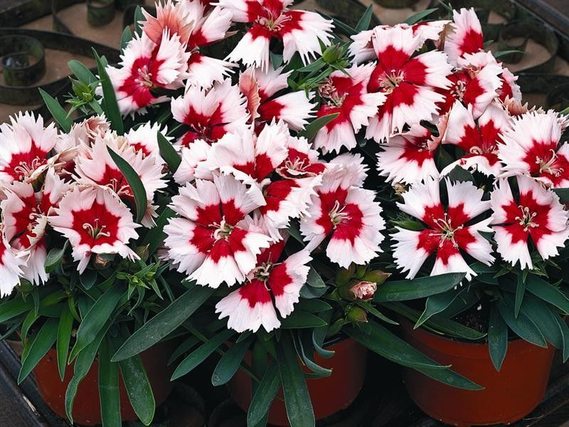 Seminte Dianthus chinensis Super Parfait F1 Red Peppermint