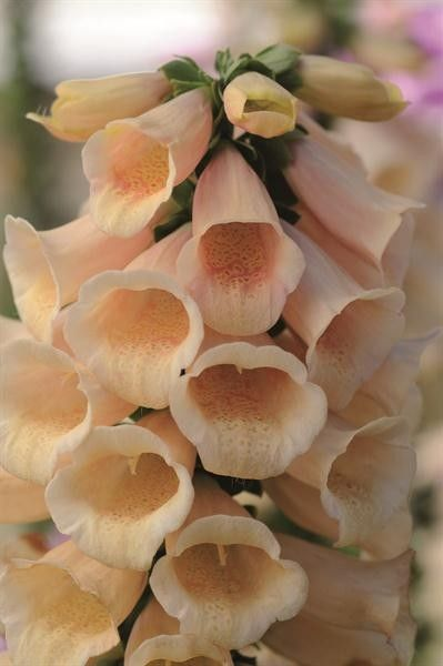 Seminte Digitalis purpurea Dalmatian Peach