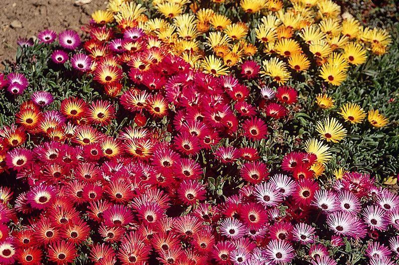 Seminte Dorotheanthus criniflorus mix