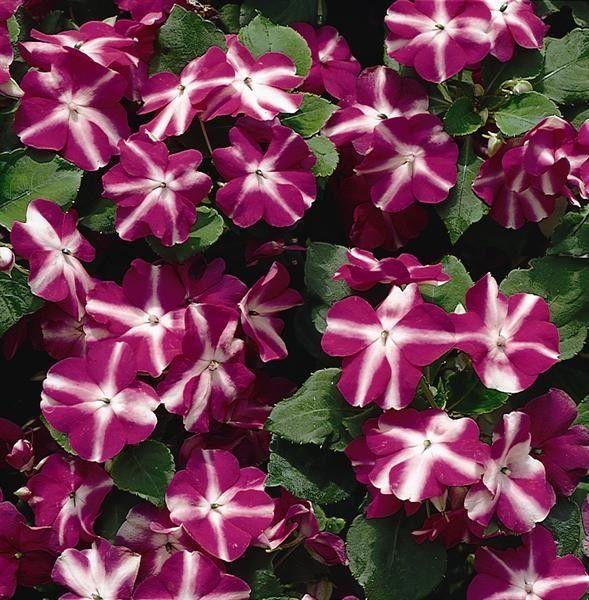 Seminte Impatiens walleriana Explore F1 Violet Star