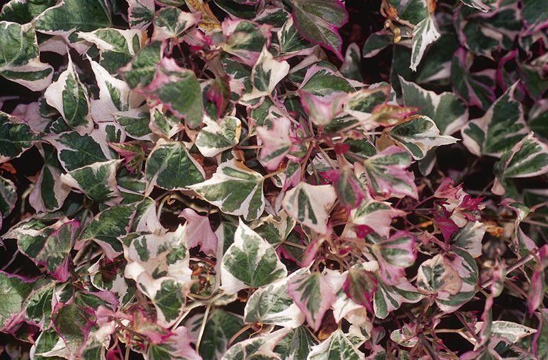 Seminte Ipomoea purpurea Tricolor mix