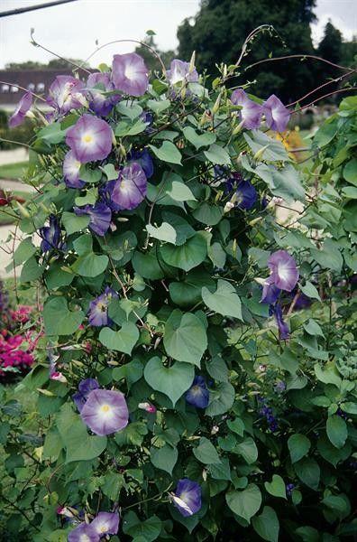 Seminte Ipomoea Heavenly Blue