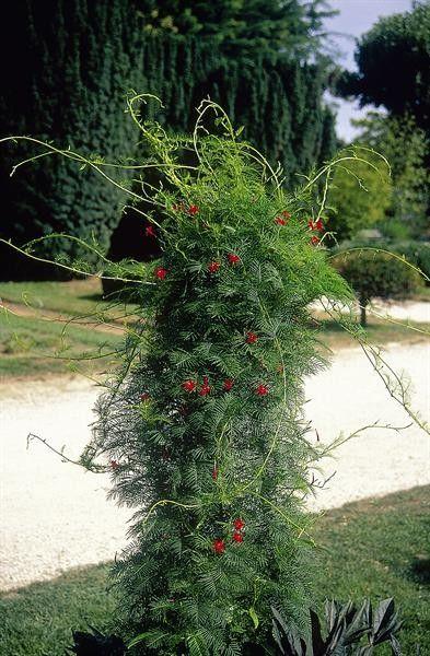 Seminte Ipomoea quamoclit Red