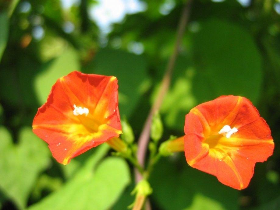 Seminte Ipomoea luteola Sunspot