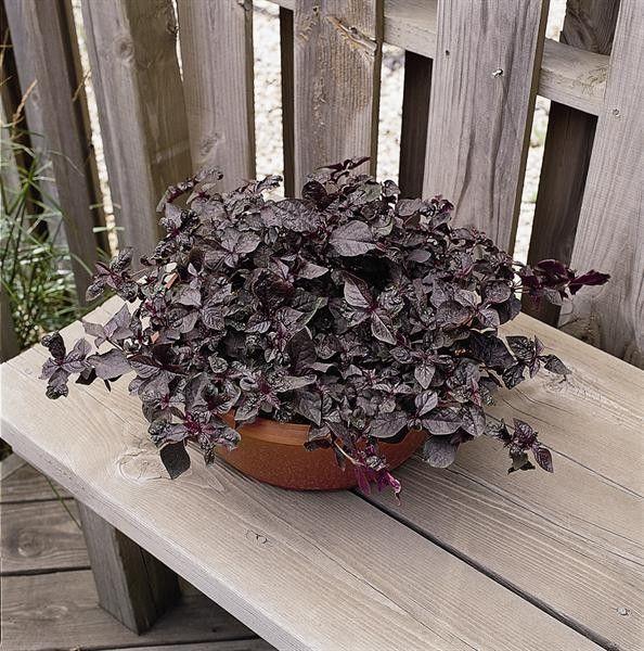 Seminte Iresine herbstii Purple Lady