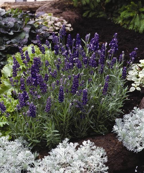 Seminte Lavandula angustifolia Lavance Purple primed