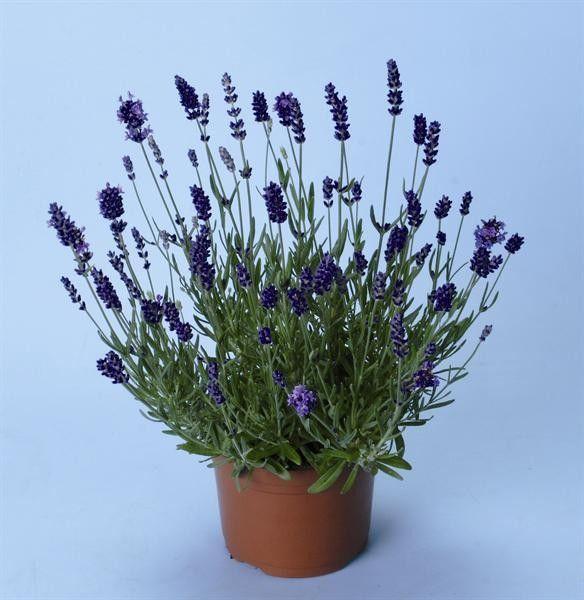 Seminte Lavandula angustifolia Ellagance Purple primed