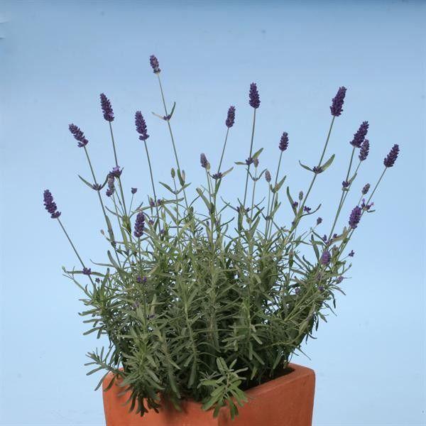 Seminte Lavandula angustifolia Hidcote Blue Strain