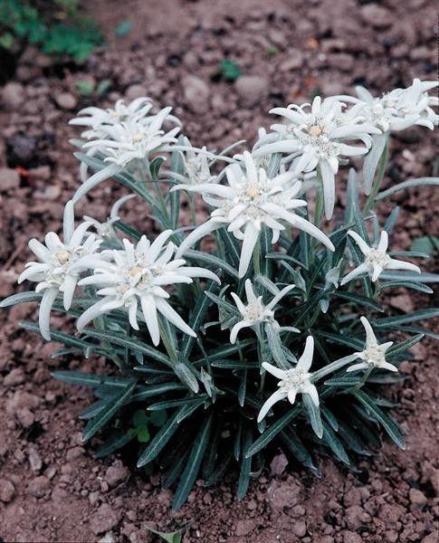 Seminte Leontopodium alpinum Everest