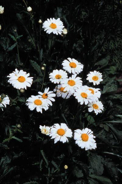 Seminte Leucanthemum maximum Alaska