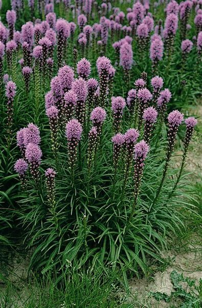 Seminte Liatris spicata Floristan Violet