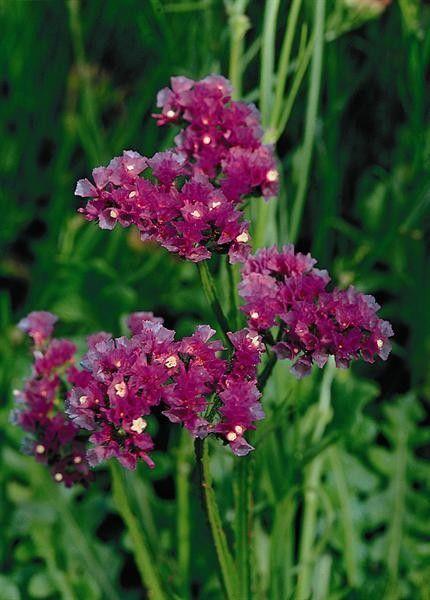 Seminte Limonium sinuatum Olympic Lavender Shades