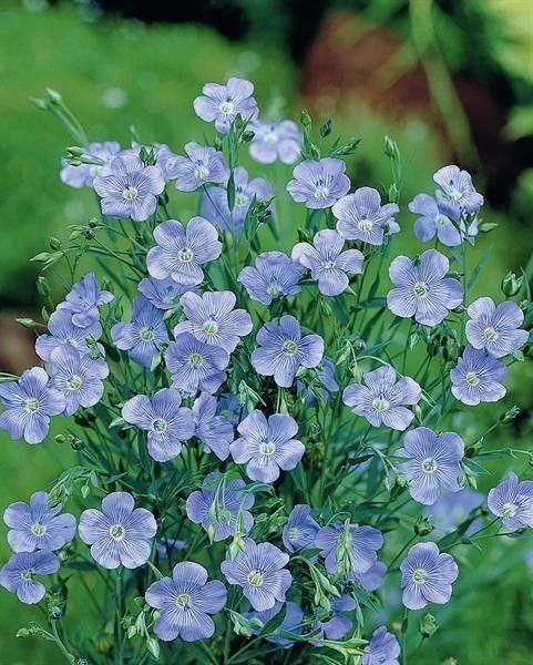 Seminte Linum grandiflora Blue Dress