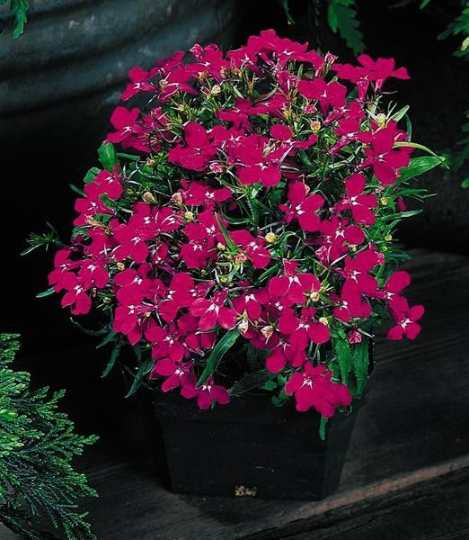 Seminte Lobelia erinus Riviera Rose gr