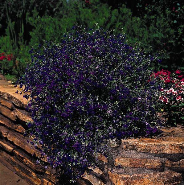 Seminte Lobelia pendula Regatta Marine Blue gr
