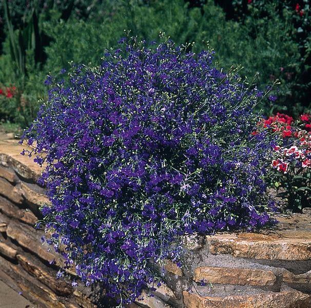 Seminte Lobelia pendula Regatta Midnight Blue gr