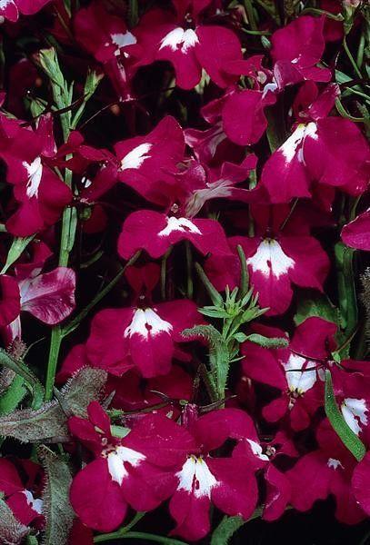 Seminte Lobelia pendula Regatta Rose gr
