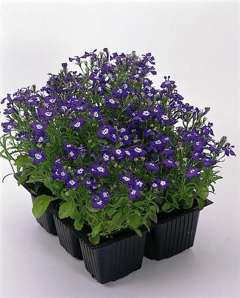 Seminte Lobelia erinus Palace Blue with Eye drajerate
