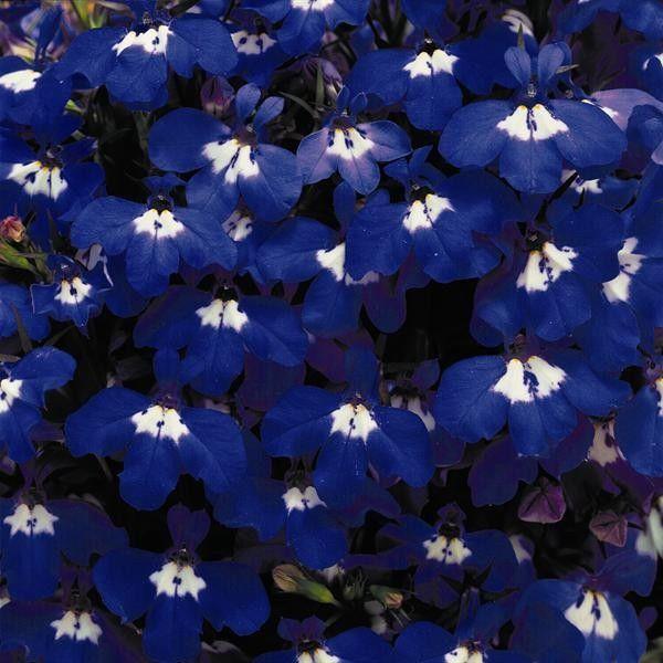 Seminte Lobelia erinus Riviera Blue Eyes drajerate