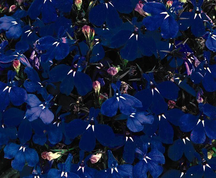 Seminte Lobelia erinus Riviera Marine Blue drajerate