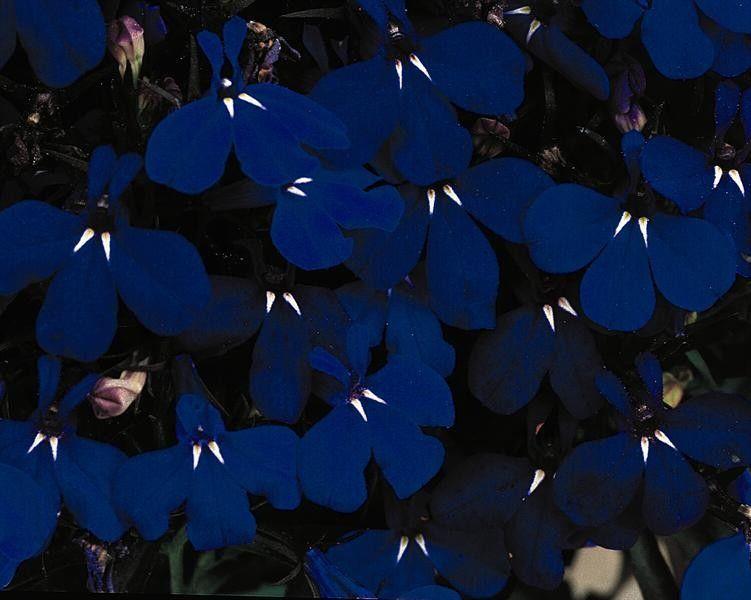 Seminte Lobelia erinus Riviera Midnight Blue drajerate