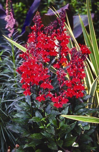Seminte Lobelia speciosa Starship F1 Scarlet drajerate