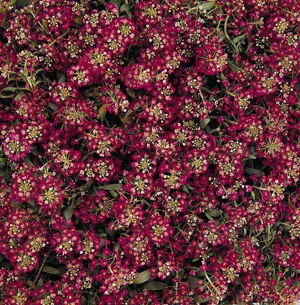Seminte Lobularia maritima Easter Bonnet Deep Rose