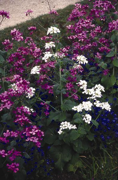 Seminte Lunaria biennis Violet