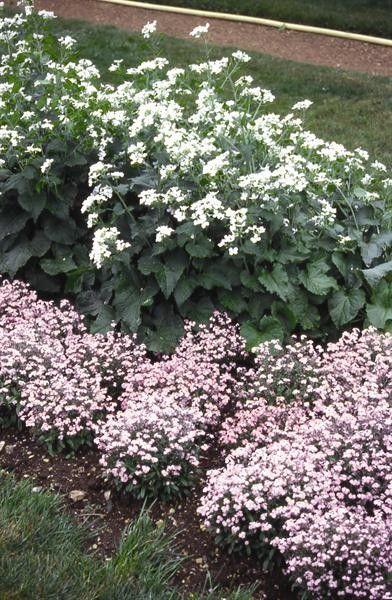 Seminte Lunaria biennis Alba