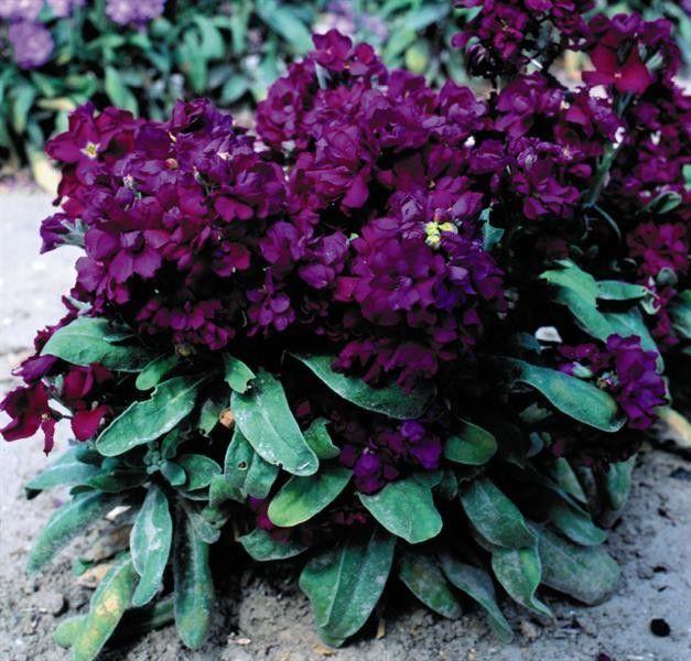 Seminte Matthiola incana Cinderella Dark Blue (Purple)
