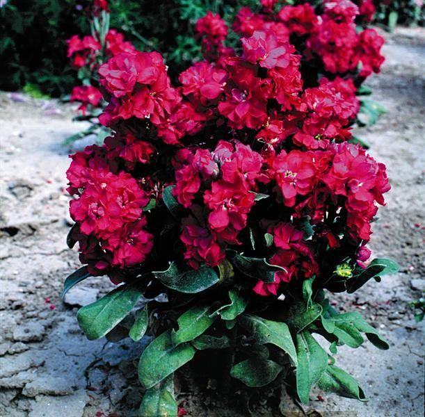 Seminte Matthiola incana Cinderella Red