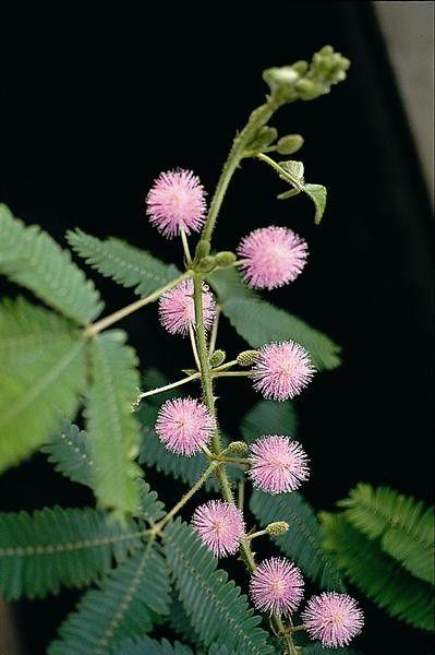 Seminte Mimosa pudica