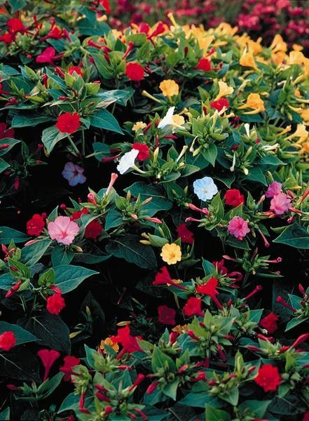 Seminte Mirabilis jalapa Tea Time mix