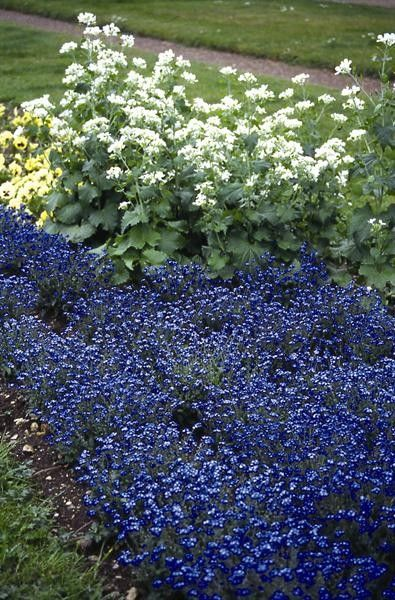 Seminte Myosotis sylvestris Perfection Blue
