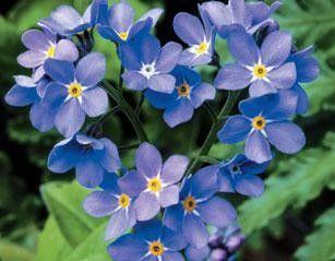 Seminte Myosotis sylvestris Victoria Blue Indigo