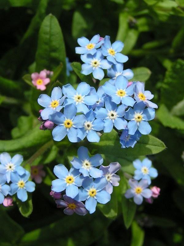 Seminte Myosotis sylvestris Victoria Sky Blue