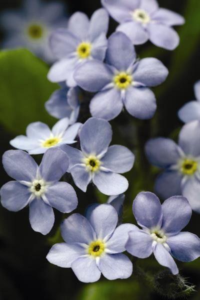 Seminte Myosotis sylvestris Mon Amie Blue